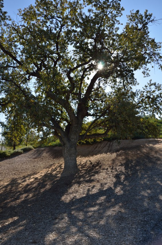 Santa Clarita is known for its wonderful oak trees