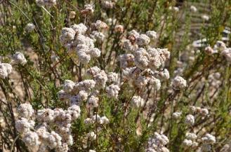 Buckwheat 02