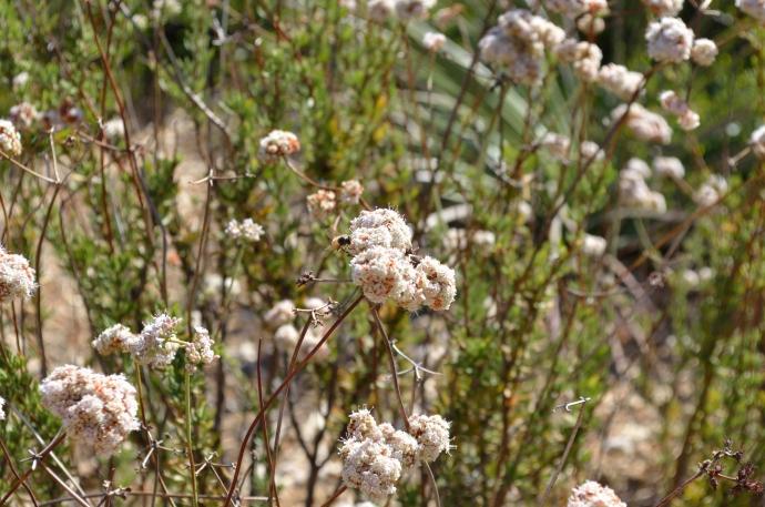 Buckwheat 04