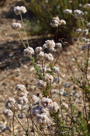 Buckwheat 05