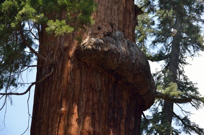Sequoia burl.