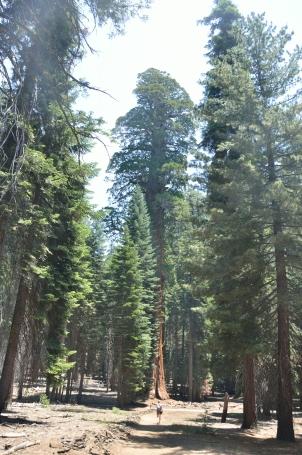 Congress Trail 20 - McKinley Tree