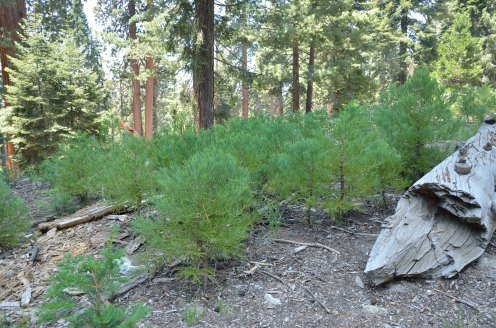 This sequoia nursery is where the old parking lot was located, east of the General Sherman tree. Parking is now 1/2 mile to the west of General Sherman, and you can either hike in or ride the shuttle bus.