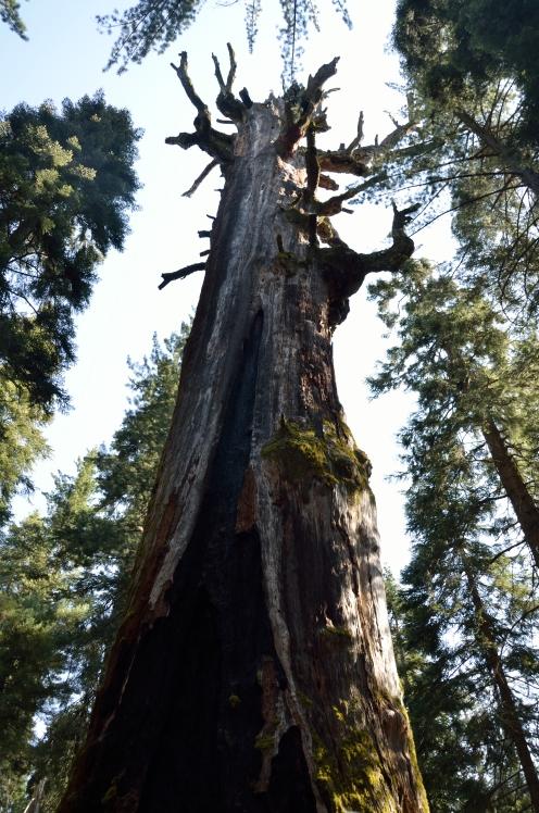 Sequoiadendrom giganteum