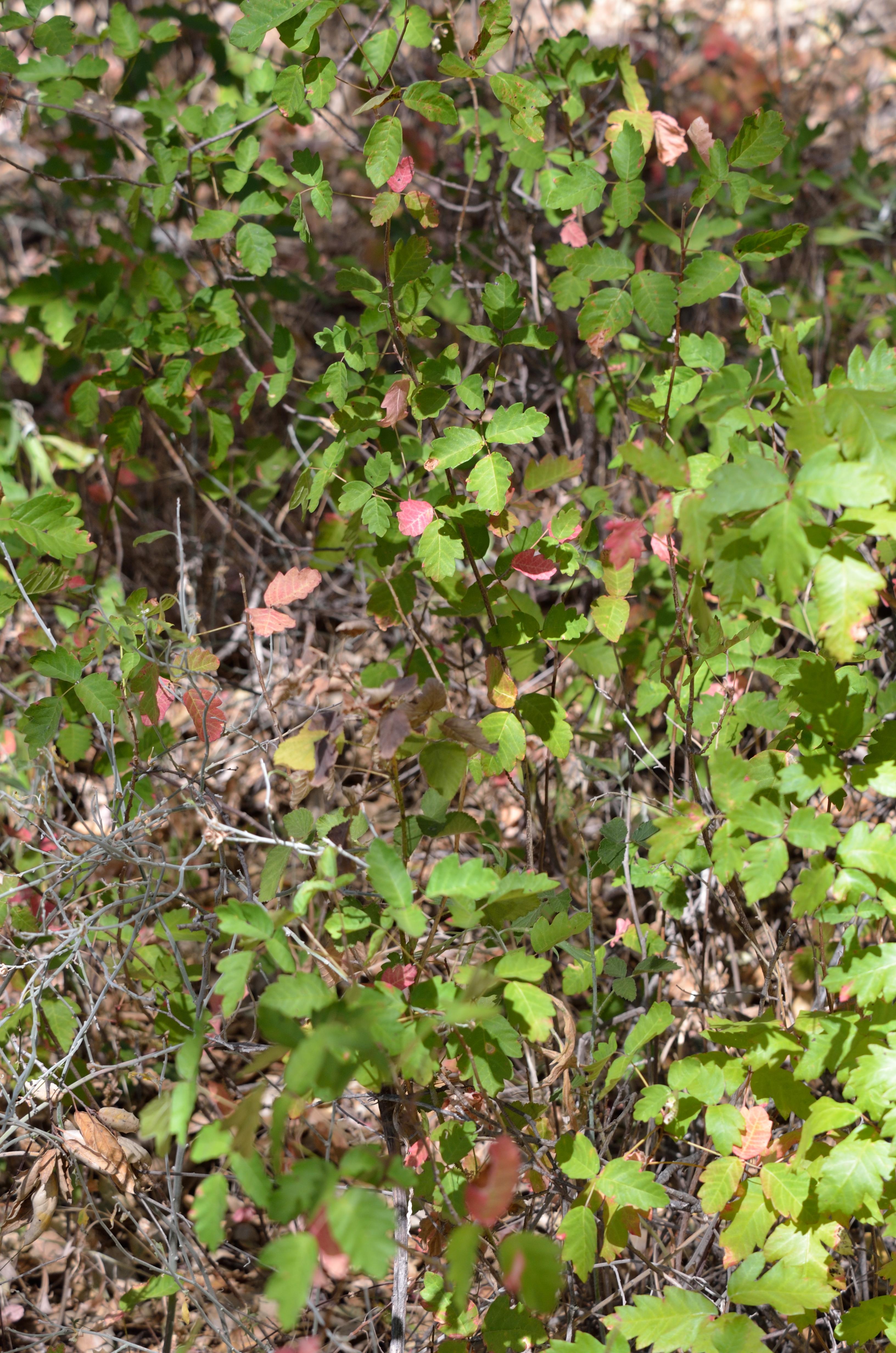 Poison Ivy : Rash, Treatment & Pictures - Live Science