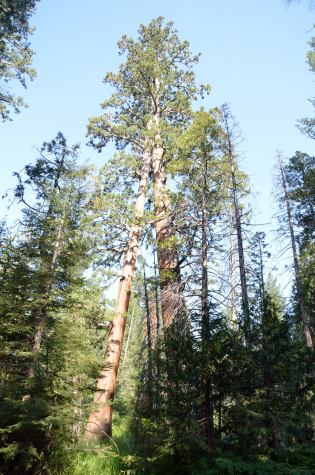 These 2 sequoias grew together ... they now share a crown.