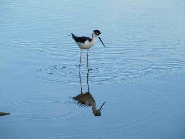 Black-necked stilt. From the Everglades NP Facebook page.