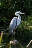 Great Blue Heron. From the Everglades NP website.