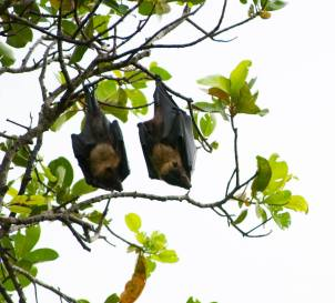 Flying foxes, or fruitbats. Photo from National Park of American Samoa Facebook page.