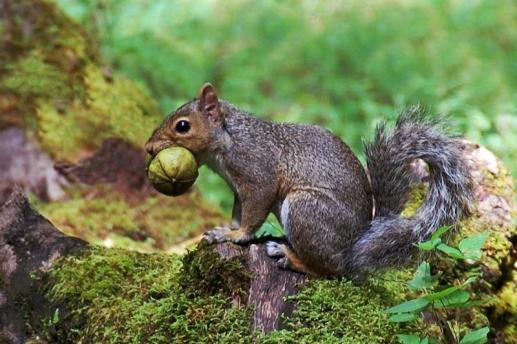 Gray squirrel, from the National Park Service website.