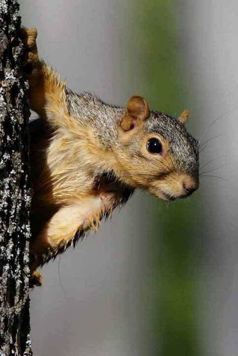 Fox Squirrel. From the Park's Facebook page.