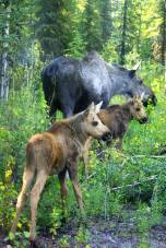 Mama moose and her two calves. From the Park's Facebook page.