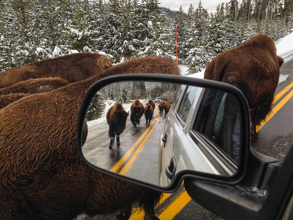Traffic jam in the Yellowstone National Park. Tweeted by the US Department of the Interior, 11/16/13.