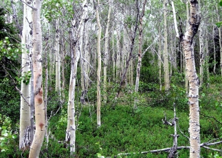 Quaking Aspen groves dot the landscape between the Kobuk River and the Great Kobuk Sand Dunes. The aspens grow on old dune fields that are now covered in plants. From the Park's website.