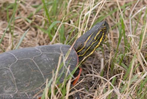 Western Painted Turtle. From the Park's website.