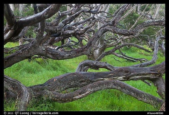 Koa trees. Photo courtesy of Terra Galleria. www.terragalleria.com.