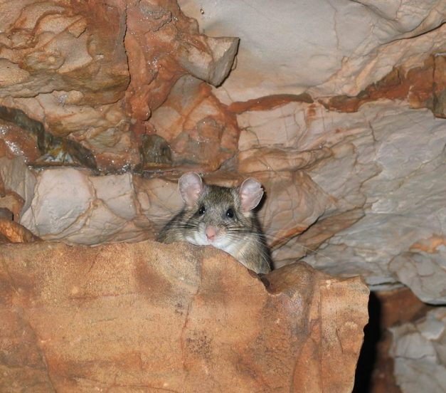This furry friend calls Wind Cave home. Ever been called a packrat for saving too much stuff? Real packrats (bushy-tailed wood rats) are known for building nests within caves and crevices. Their nests are built from materials brought in from the outside, such as pine cones, needles, paper, plastic odds and ends, wire...you name it. They use the cave for shelter but do not live their whole life underground. They go out onto the surface to forage for food, generally at night. Wood rats do not hibernate but rather build several large food caches to get them through the winter. From the Park's Facebook page.