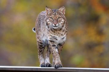 This shot by Steven Gifford is amazing because bobcats – Lynx rufus – are elusive, nocturnal, mostly solitary – and rarely seen by people. They first appeared about 1.8 million years ago. Today, the beautiful cat – about twice as big as an average housecat – is still found in most of its historic range from southern Canada to northern Mexico. Like most cats, the bobcat is territorial. Gifford took this photo at Patoka River National Wildlife Refuge, Indiana. Posted by the US Department of the Interior, 1/8/14. ________________________________________