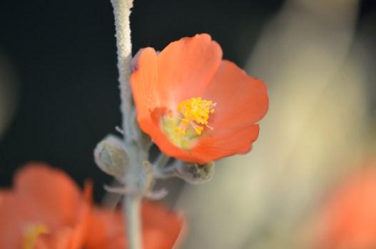 Apricot Mallow 01