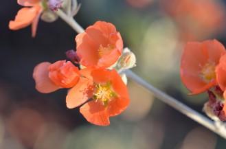 Apricot Mallow 04