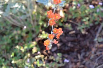 Apricot Mallow 09