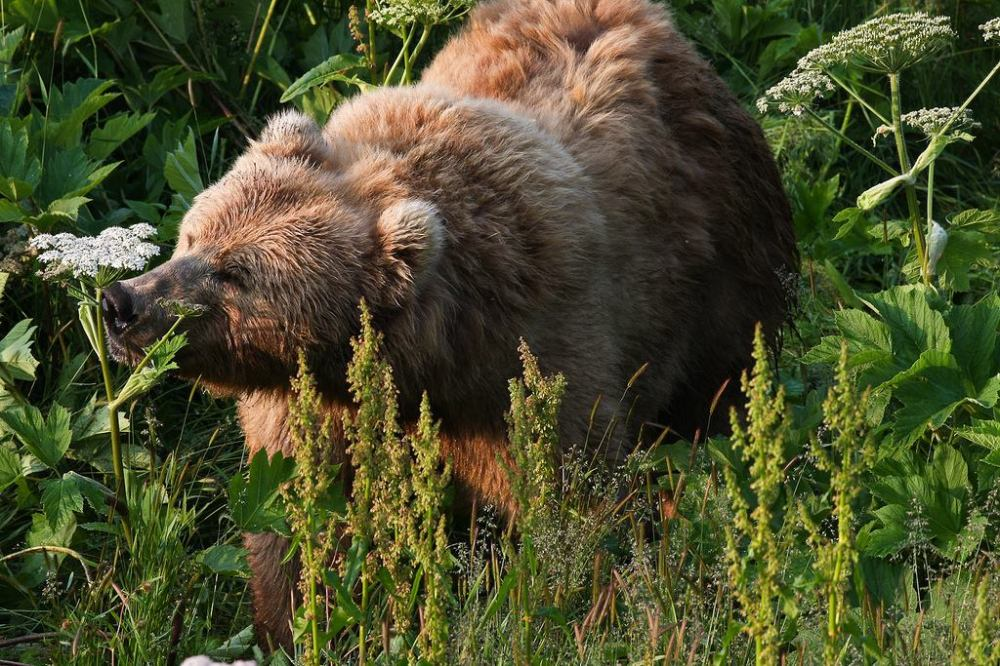 A bear doing what bears do in the Kodiak National Wildlife Refuge. Well, one thing they do, at least. Photo by Lisa Hupp (USFWS). Posted on Tumblr by the US Department of the Interior, 3/23/14.
