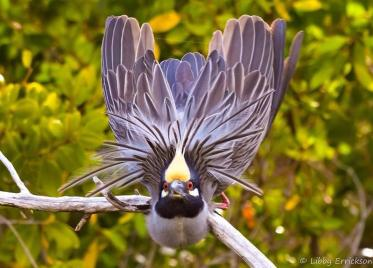"Amazing photo of a Night Heron in J.N. ""Ding"" Darling National Wildlife Reserve by intern Libby Errickson. Tweeted by the US Department of the Interior, 5/6/14."