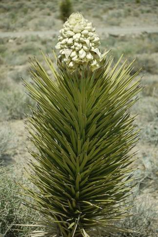 Joshua Tree in bloom. From the Park's Facebook page.
