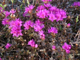 Lapland Rosebay. From the Park's website.