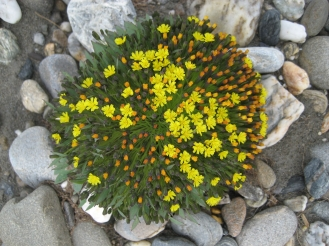 Alpine Hawksbeard. From the Park's website.