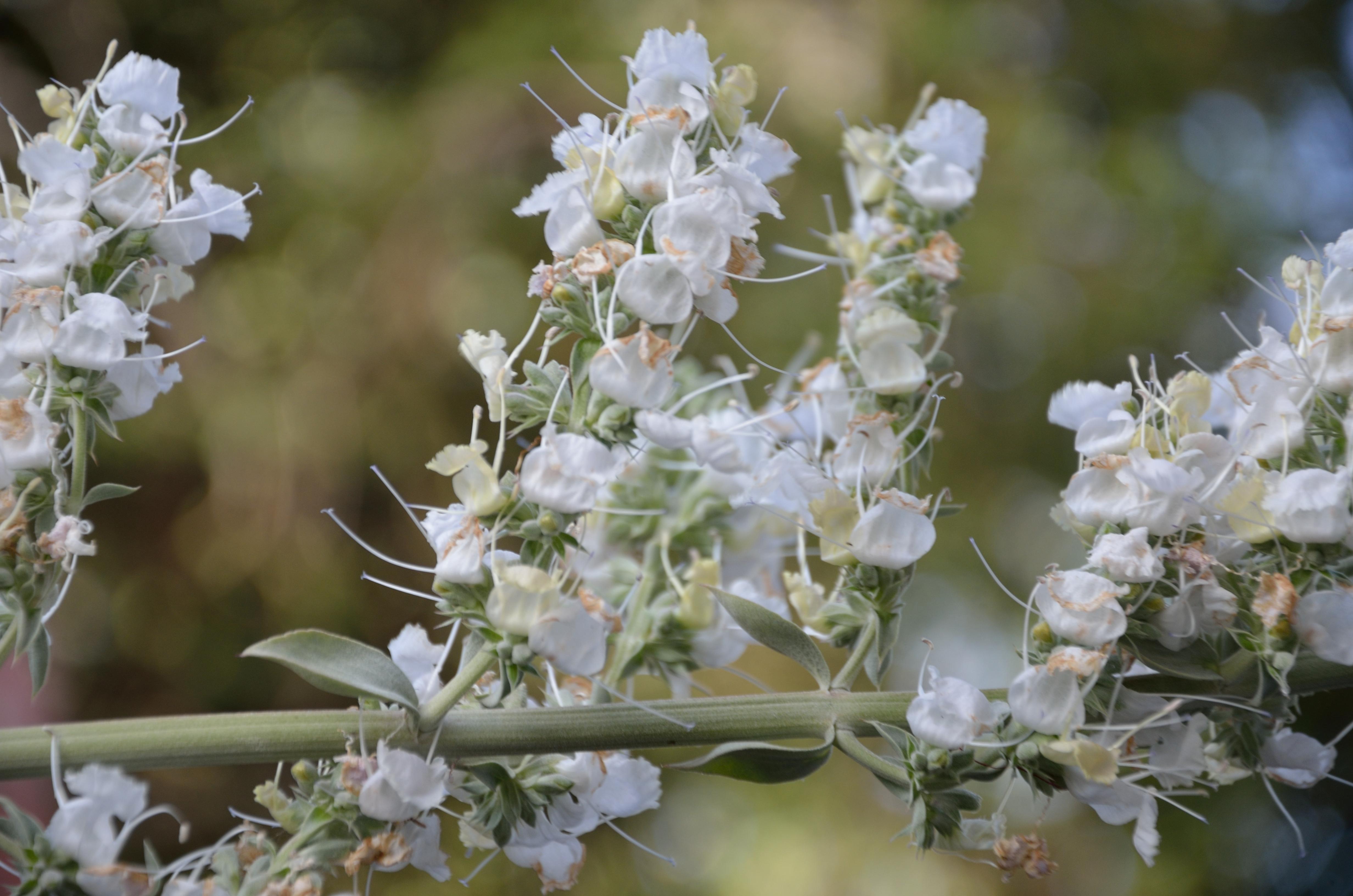 White Sage Salvia Apiana Mowryjournal