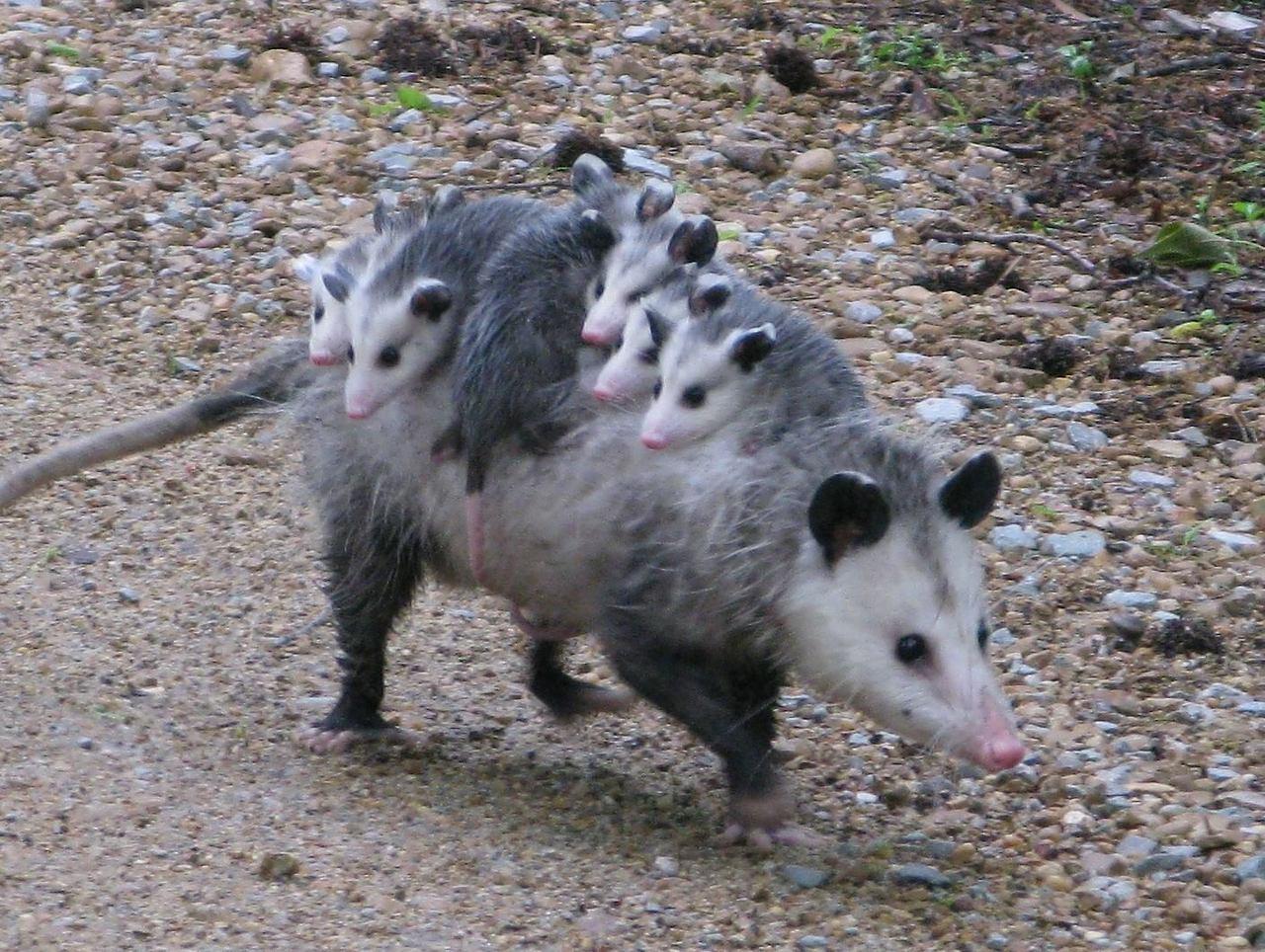 Opossum   MowryJournal...