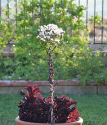 Red Lettuce 02
