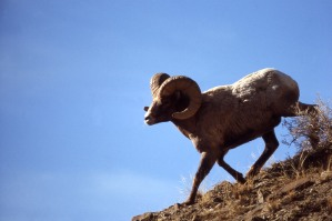 Bighorn Ram. From the Yosemite National Park's website.