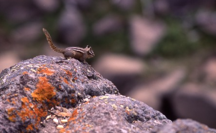 Chipmonk. From Yellowstone National Park's website.