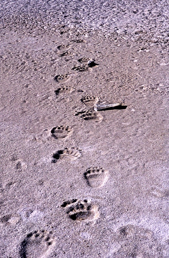 Grizzly tracks. From Yellowstone National Park's website.