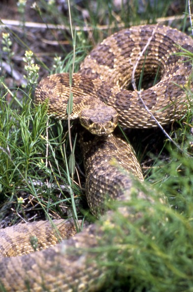 Prairie Rattlesnake. From the Yosemite National Park's website.