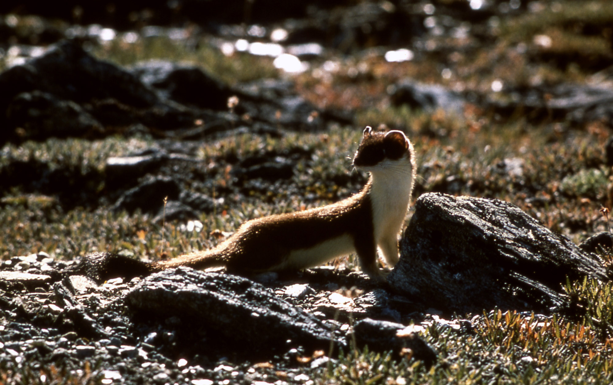 yellowstone a short tailed weasel com the animals of yellowstone yellowstone a short tailed weasel leave a comment
