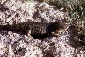 Tiger Salamander. From the Yosemite National Park's website.