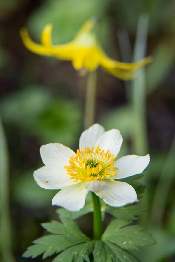 American globeflower (Trollius laxus) and, in the background, glacier lily (Erythronium grandiflorum). From the Park's Facebook page.
