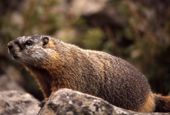 Yellow-bellied Marmot. From the Park's website.