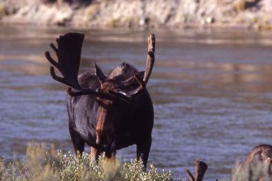 Bull Moose. From the Park's website.