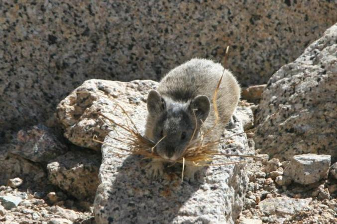 Pika. From the Park's website.