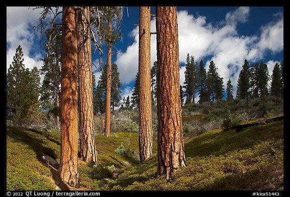 Ponderosa pines. Photo courtesy of Terra Galleria. www.terragalleria.com.