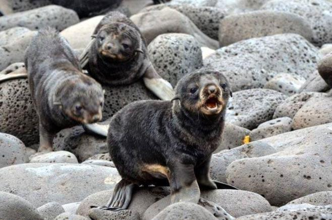 Fur seals from the Alaska Maritime Refuge. Tweeted by the US Department of the Interior on 10/14/14.