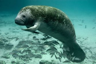 Manatee in the Crystal River National Wildlife Refuge. Tweeted by the US Department of the Interior, 11/3/14.