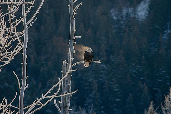 Great shot of a steaming eagle at Kenai Fjords National Park in Alaska! Sometimes a good perch in the sun on a cold day can feel so good. Photo by Mark Thompson, National Park Service. Posted on Tumblr by the US Department of the Interior, 12/3/14.