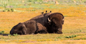 Bison and birds at the Wichita Mountains Wildlife Refuge in Oklahoma. Photo by Nils Axelsen. Tweeted by the US Department of the Interior, 1/2/15.