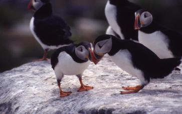 Puffins. Tweeted by the US Department of the Interior, 1/2/15.