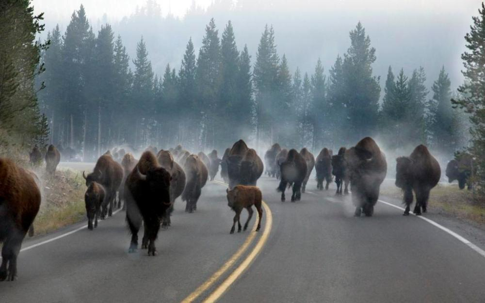 This is 2014's most retweeted photo from the US Department of the Interior. Photo by Cameron Patrick. Bison in Yellowstone National Park had just waded a stream, and the water steamed off of their coat as they trotted down the highway. Retweeted by the US Department of the Interior, 12/31/14.